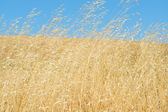 Wild Grasses Blowing In The Wind — Stock Photo