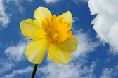 Daffodil (Narcissus) — Stock Photo