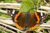 The Red Admiral — Stock Photo