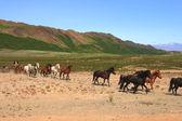 Islands hästar — Stockfoto