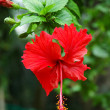 Royalty-Free Stock Photo: Red Malvaceae Hibiscus Flower