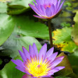 Purple Water Lily Lotus — Stock Photo