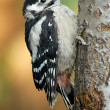 Little woodpecker - Stock Photo