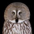 Great Grey Owl - Stock fotografie