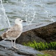 Gull on the boulder — Stock Photo