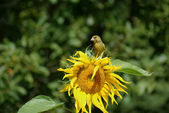 Greenfinch on sunflower — Stock Photo