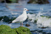 Gull on the stone — Stock Photo