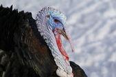 Turchia-gallo — Foto Stock