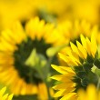 Foto Stock: Sunflower details