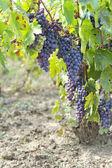 Harvest grape — Stock Photo