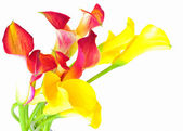 Mixed callas — Stock Photo