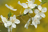 Spring tree flower — Stock Photo