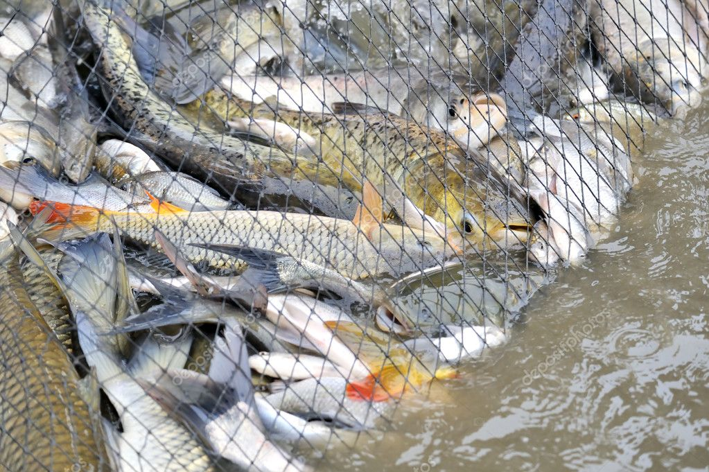 Fish in a fishing nets stock photo jordache 1980858 for Fish nets near me