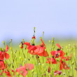 Stock Photo: Red poppies