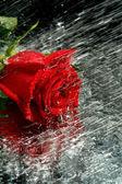 água flui em uma rosa vermelha — Foto Stock