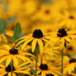 Yellow flowers — Stockfoto #1978228