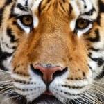 Beautiful Tiger — Stock Photo #2040452