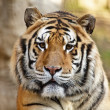 Cute Tiger — Stock Photo #2042936