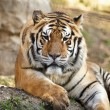 Cute Tiger - Stock Photo