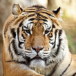 Stock Photo: Cute Tiger