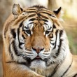 Royalty-Free Stock Photo: Cute Tiger