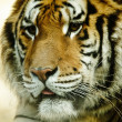 Cute Tiger - Stockfoto