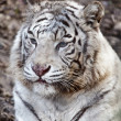 Cute Tiger - Foto de Stock