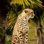 Gepard — Stock Photo