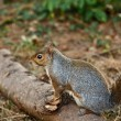 Squirrel — Stock Photo #2051036