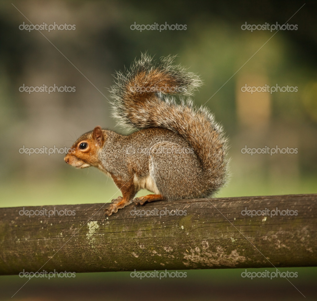Photo of squirrel  Stock Photo #2055632
