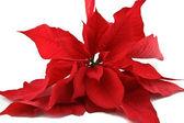 Atatürk çiçeği — Stok fotoğraf