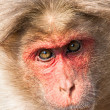 Bonnet Macaque Closeup Portrait - Stock Photo
