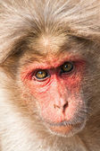 Bonnet Macaque Closeup Portrait — Stockfoto