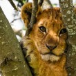 Cute Lion Cub Portrait — Stock Photo