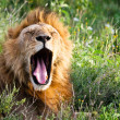 African Lion Yawning — Stock Photo