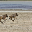 Orphaned Baby Wildebeests Running — Stock Photo