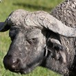 Water Buffalo Portrait - Stock Photo