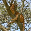 Lion Cub up a Tree in Serengeti — Stock Photo