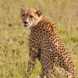 Cheetah — Stock Photo #2049367