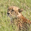 Royalty-Free Stock Photo: Cheetah in Tall Grass