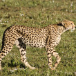 Stock Photo: Stalking Cheetah in Serengeti
