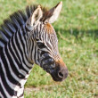 Baby Zebra Portrait — Stock Photo