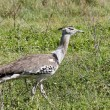 Kori Bustard in Tanzania — Stock Photo