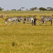 Zebra Herd in Grumeti Reserves — Stock Photo
