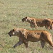 Lionesses on the Prowl — Stock Photo