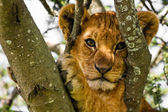 Cute Lion Cub Portrait — Stockfoto