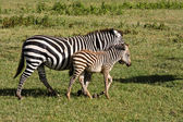 Baby Zebra and Mother — Stock Photo