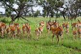 Erkek impala dişilerini uzakta hayvan sürüsü — Stok fotoğraf
