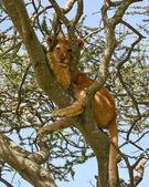 Lion Cub up a Tree in Serengeti — Stock Photo