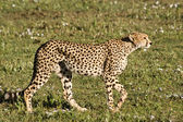Stalking Cheetah in Serengeti — Stock Photo